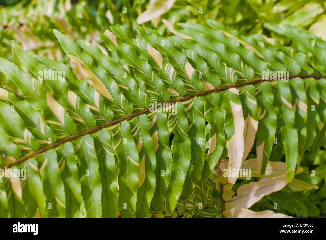 Zamburiña Boston (hojas de helecho Nephrolepis exaltata variegata) - EE.UU. Imagen De Stock
