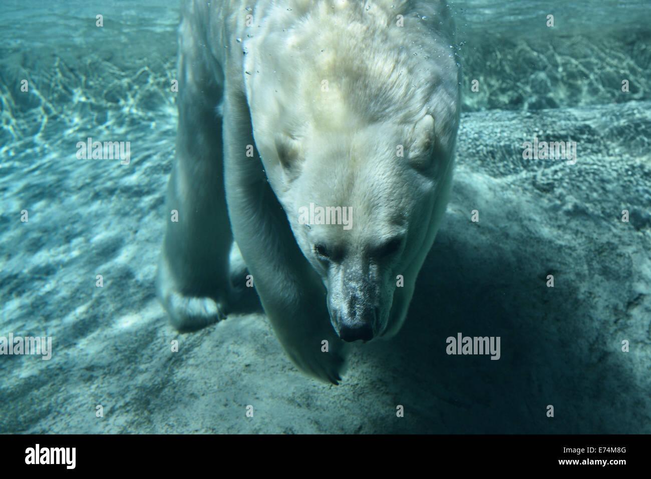 Oso polar buceo sosteniendo la respiración bajo el agua en la piscina azul del zoo de Toronto. Imagen De Stock