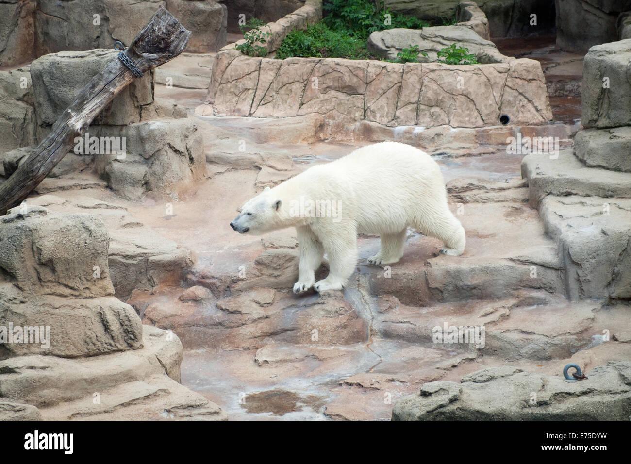 Una vista de anana, el residente hembra de oso polar del zoo de Lincoln Park en Chicago, Illinois. Imagen De Stock