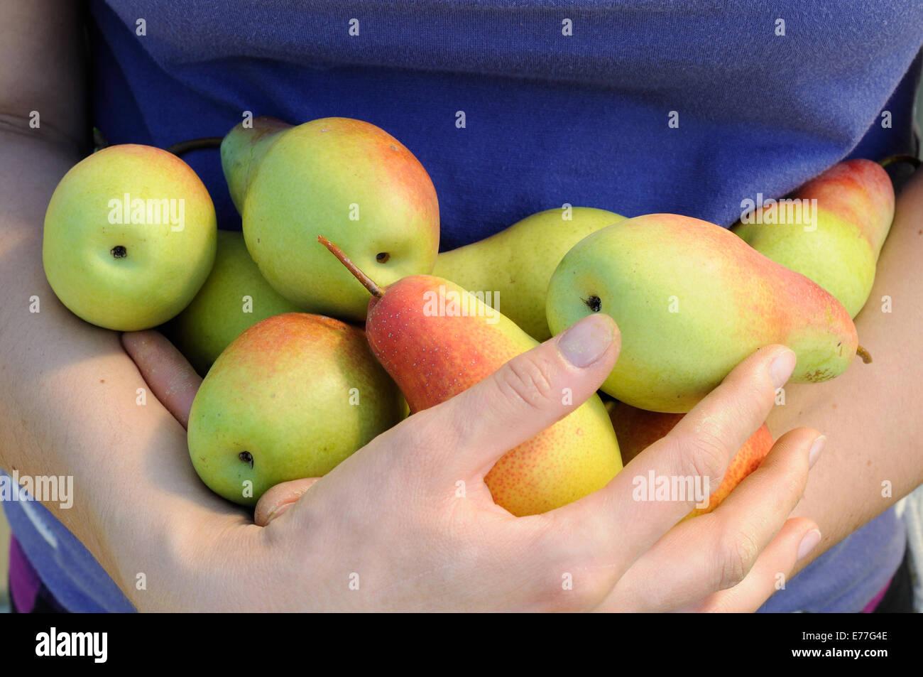 Paquete de peras maduras en manos de mujer Imagen De Stock