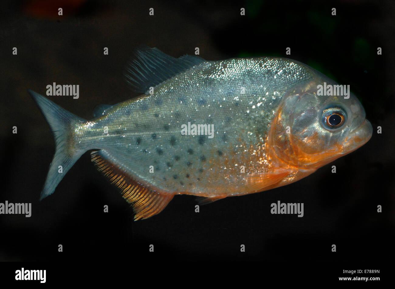 Freshwater Crustaceans Imágenes De Stock & Freshwater Crustaceans ...