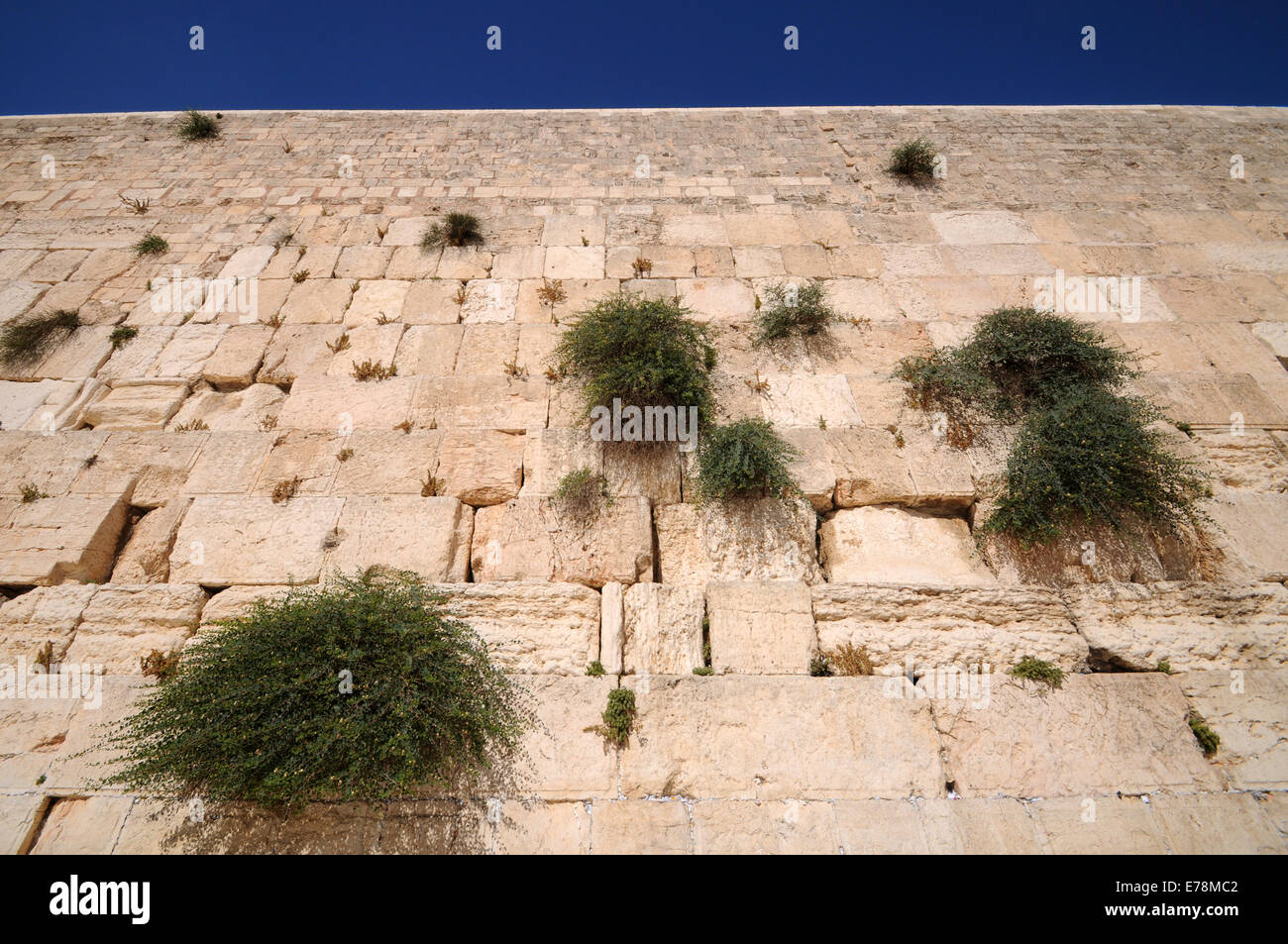 Alcaparras creciente sobre el muro de las lamentaciones, Jerusalén, Israel Imagen De Stock
