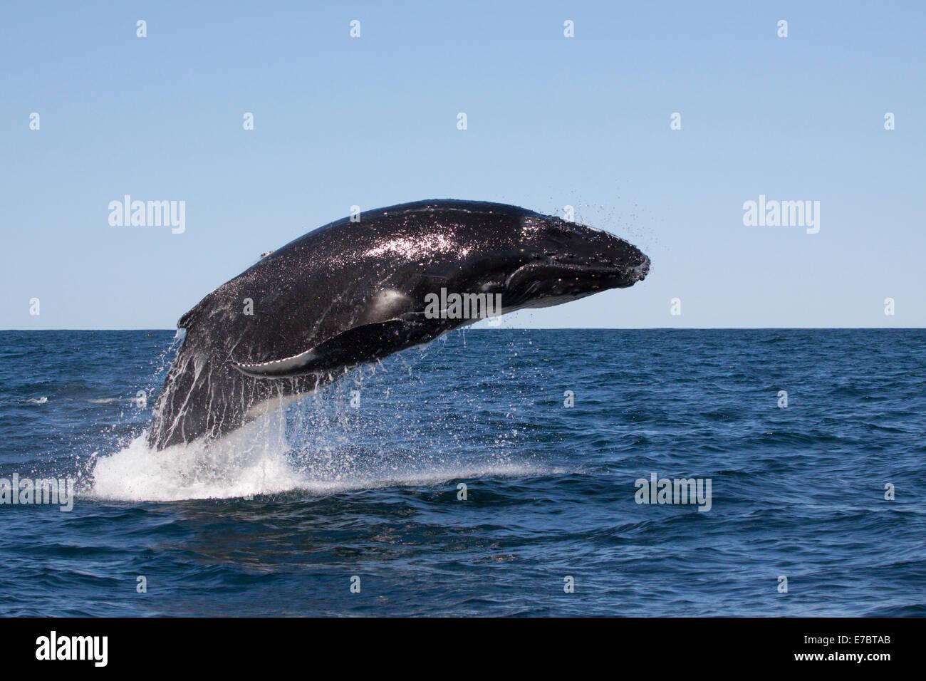 Jóvenes de la ballena jorobada (Megaptera novaeangliae) Infracción, saltando en Byron Bay, New South Whales, Australia Foto de stock