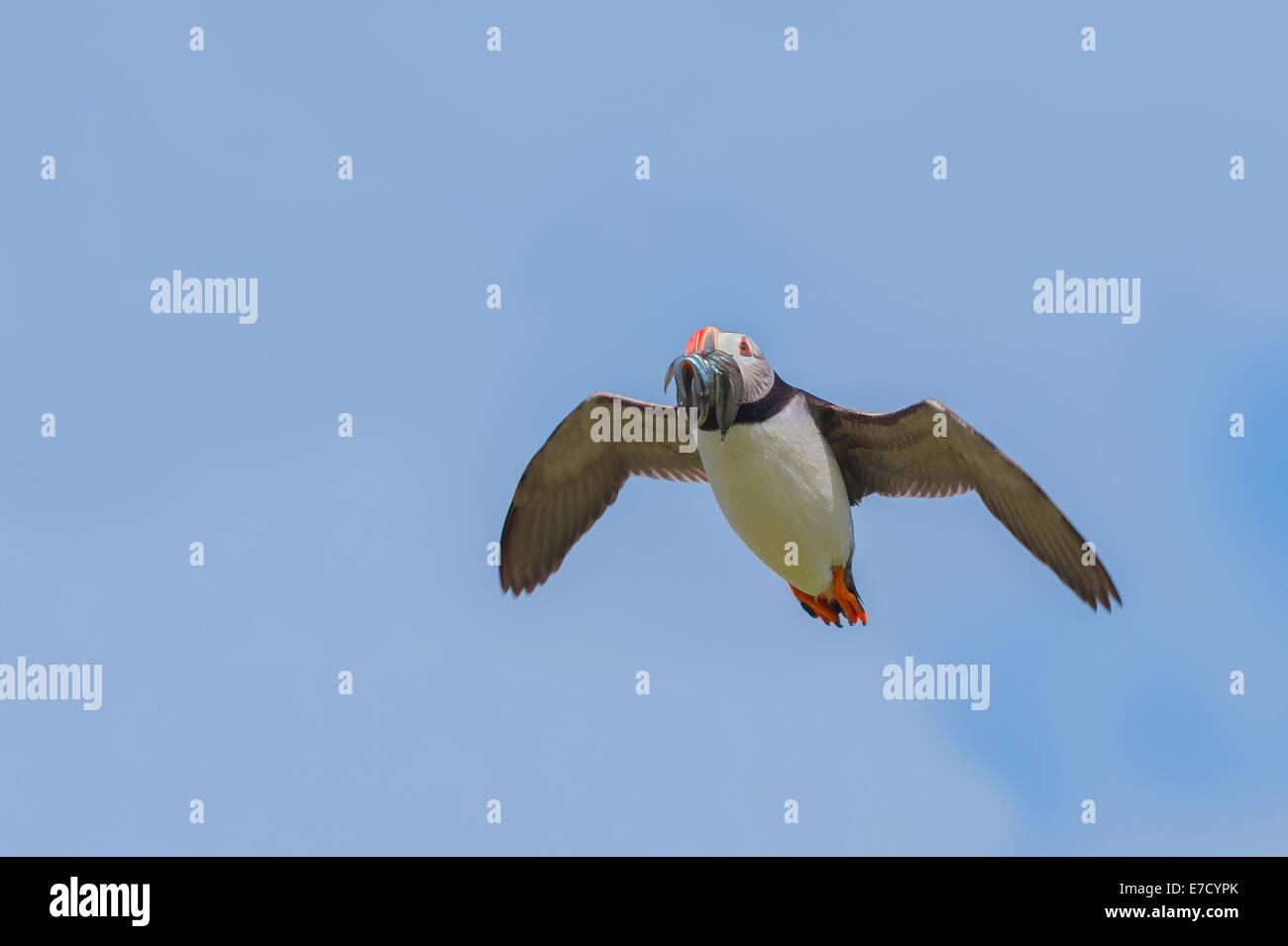 Un Frailecillo atlántico (Fratercula arctica) con un beakful de anguilas de arena, en vuelo flying airborne contra un cielo azul Foto de stock