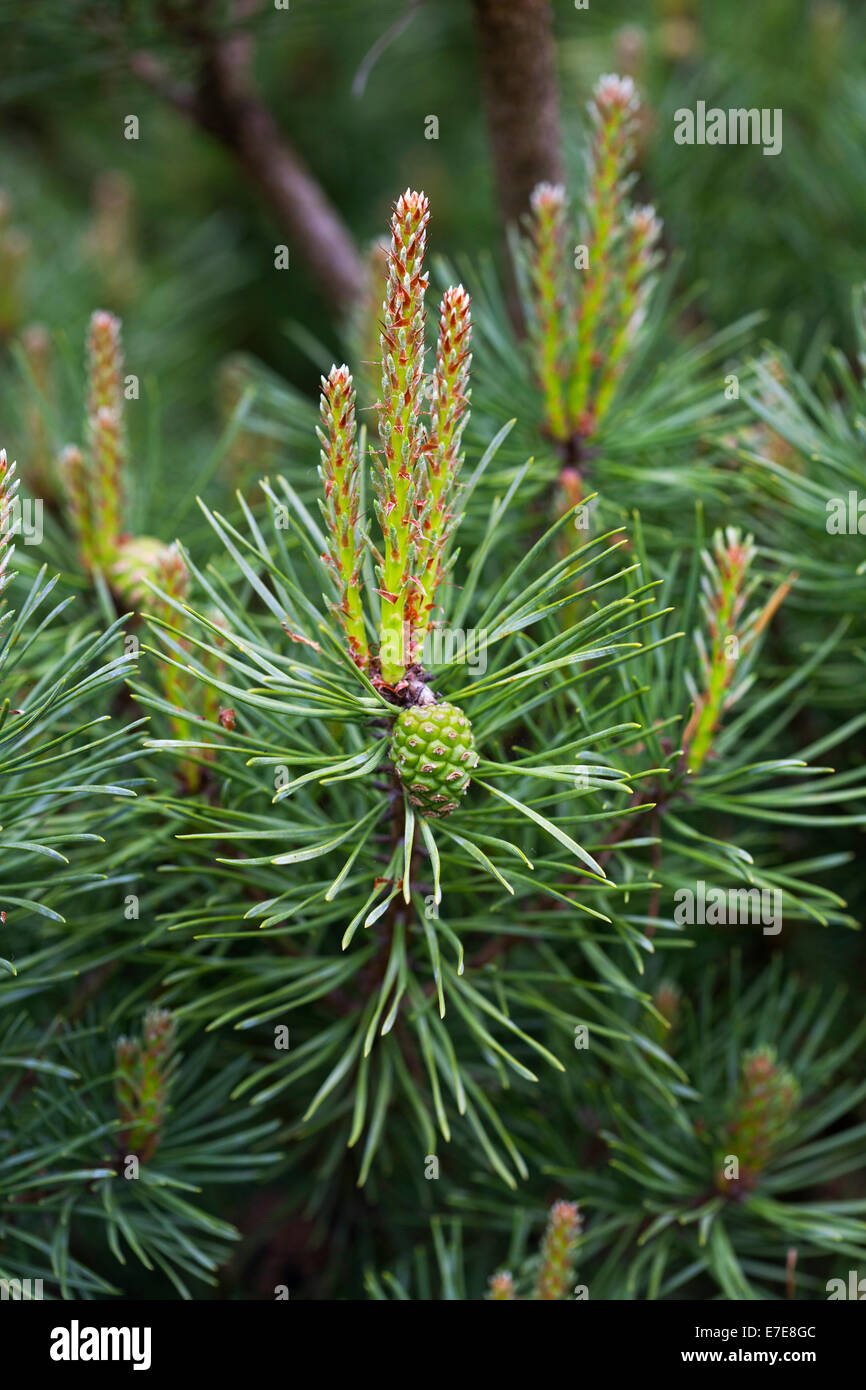 Pinus Plant Imágenes De Stock & Pinus Plant Fotos De Stock - Alamy