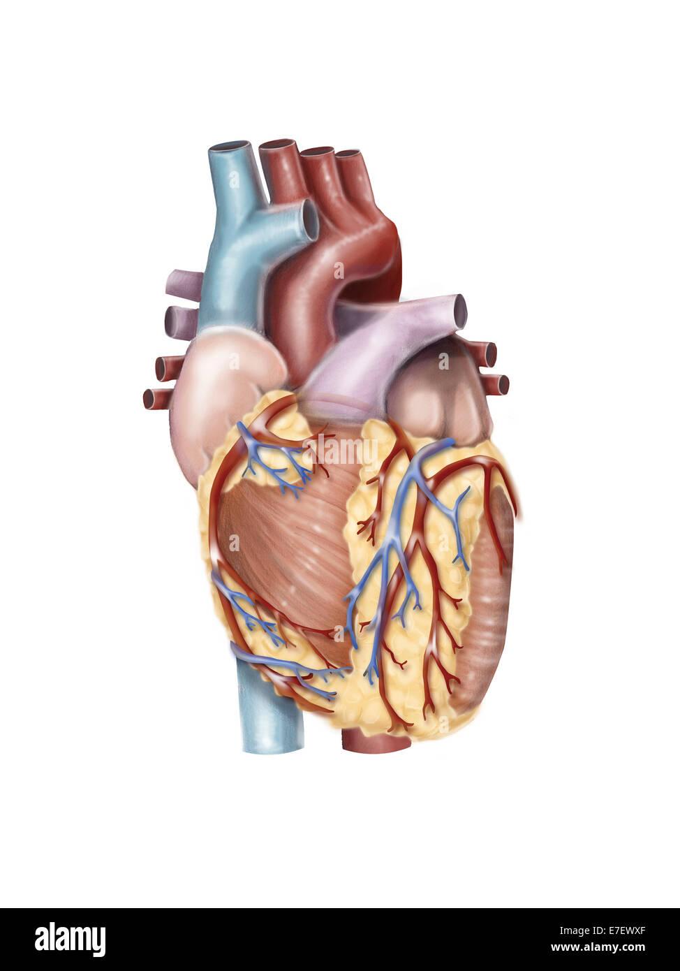 Vista anterior del corazón humano Foto & Imagen De Stock: 73471735 ...