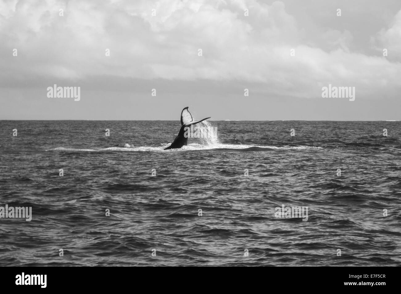 La ballena jorobada (Megaptera novaeangliae), buceo con un Fluke levantada, el Océano Índico, Sainte Marie, Nosy Boraha, Madagascar Foto de stock