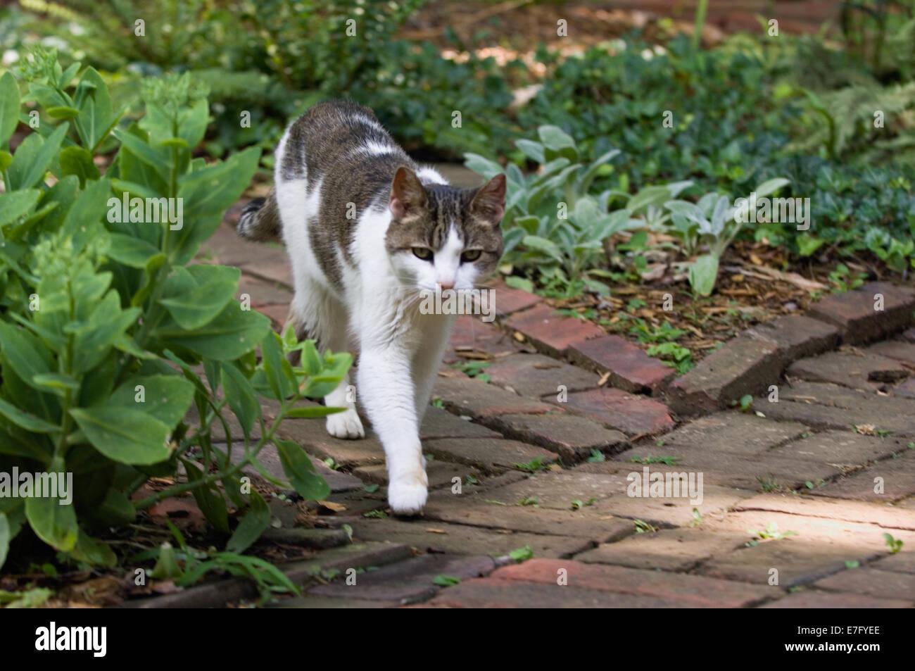 Domestic Shorthair Gato caminando por la pasarela de jardín Foto de stock