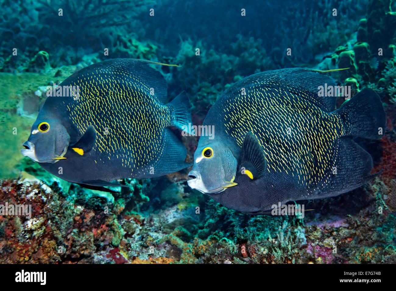Dos Angelfishes Francés (Pomacanthus paru) por encima de los arrecifes de coral, pequeña Tobago, Trinidad Imagen De Stock