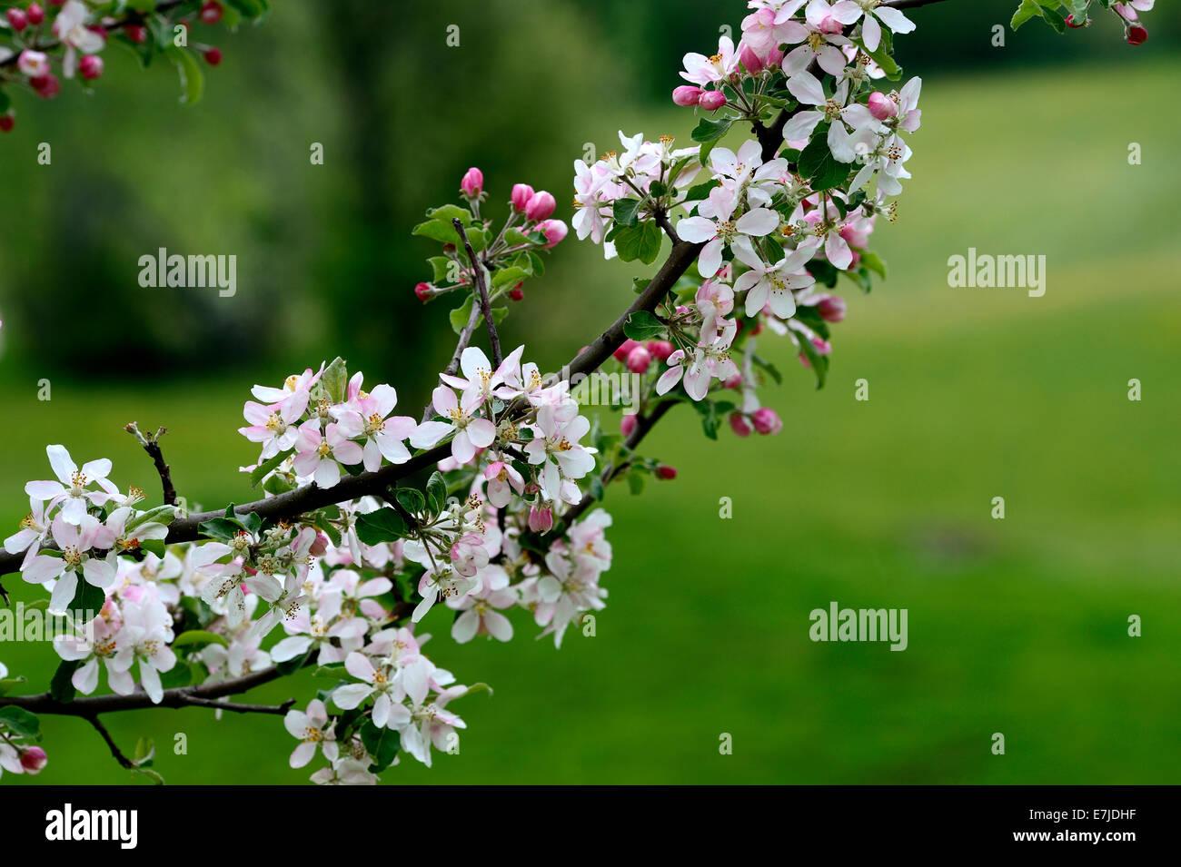 Flores, primavera, árboles en flor, flores, brotes tiernos, fruta, flores, pétalos, Alemania, Europa, Imagen De Stock