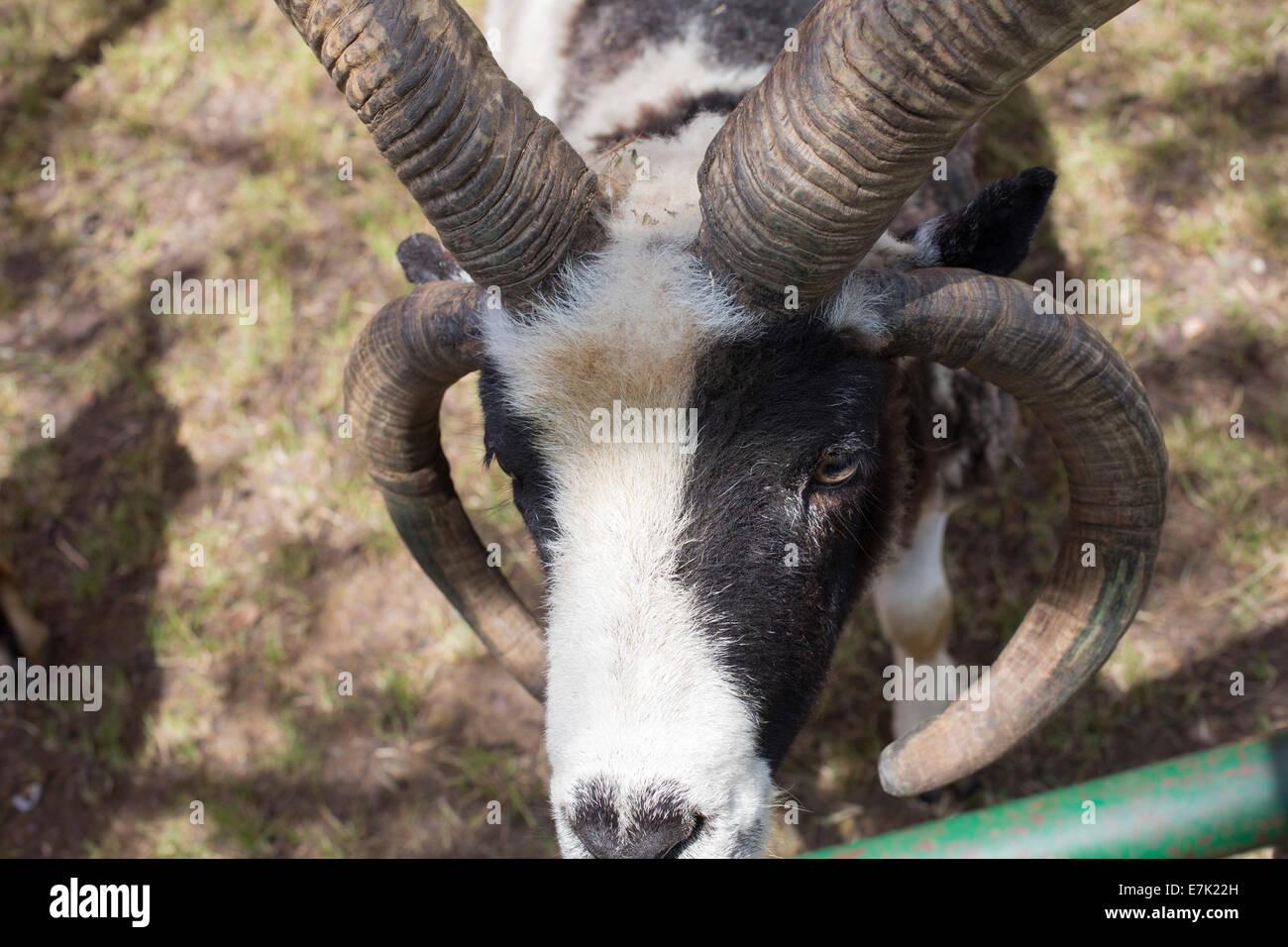 Sterling Heights, Michigan - Un Jacob cuernos cuatro ovejas en un zoológico de contacto. Imagen De Stock