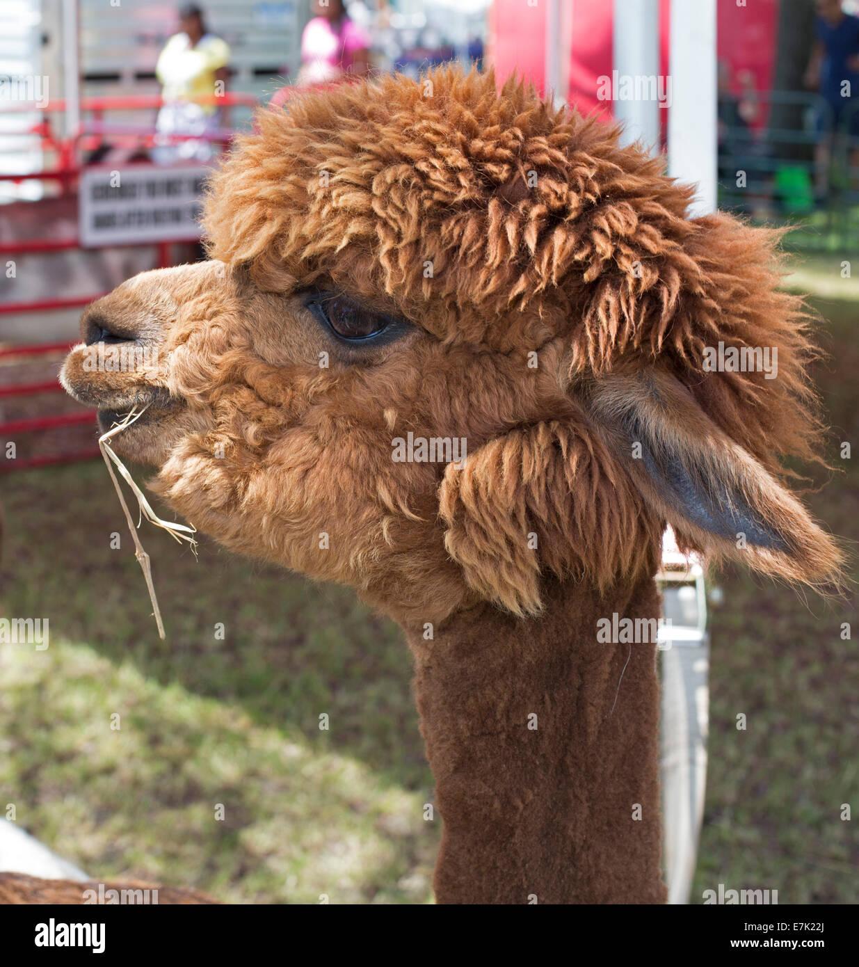 Sterling Heights, Michigan - Una alpaca en un zoológico de contacto. Imagen De Stock
