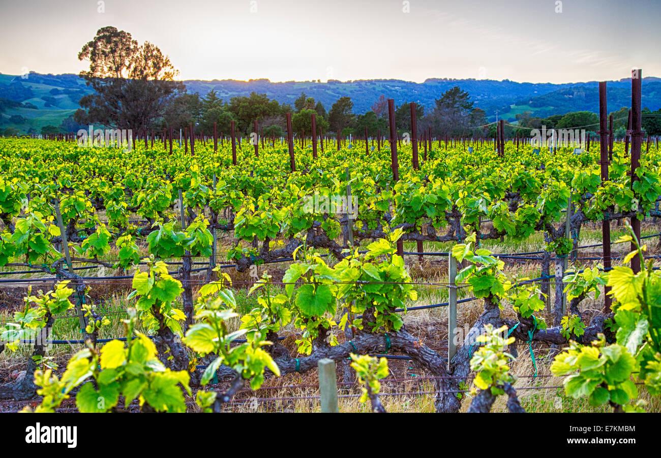 Puesta de sol sobre los viñedos en la región vinícola de California. El condado de Sonoma, California Foto de stock