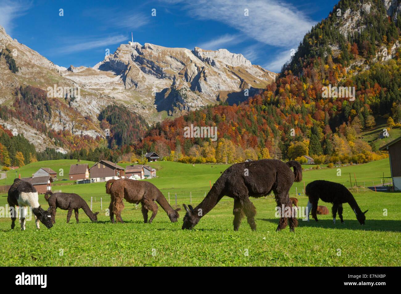 Toggenburg, llamas, lama, Unterwasser, Toggenburg, Alpstein, Säntis, montaña, montañas, otoño, SG, en el cantón de San Gallen, Alpstein Foto de stock