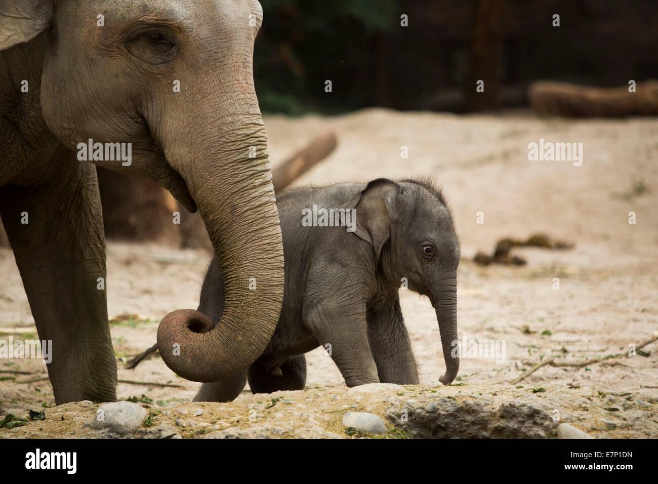 Los animales, los elefantes, los jóvenes, el elefante, el Zoológico de Zurich, animales, el cantón Imagen De Stock