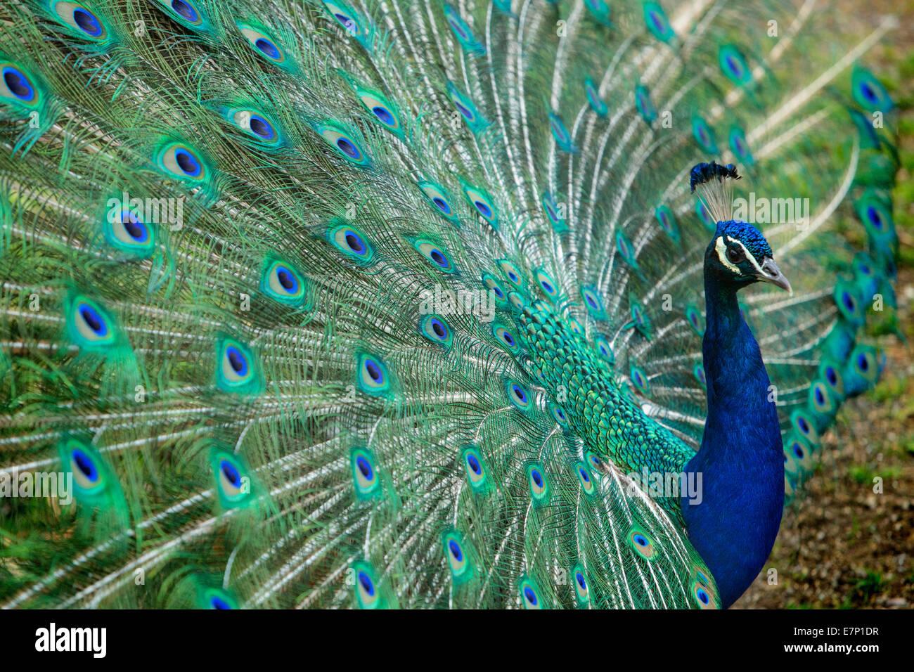 Animales, Peacock, el Zoológico de Zurich, animales, zoo, Zurich, Suiza, Europa Foto de stock