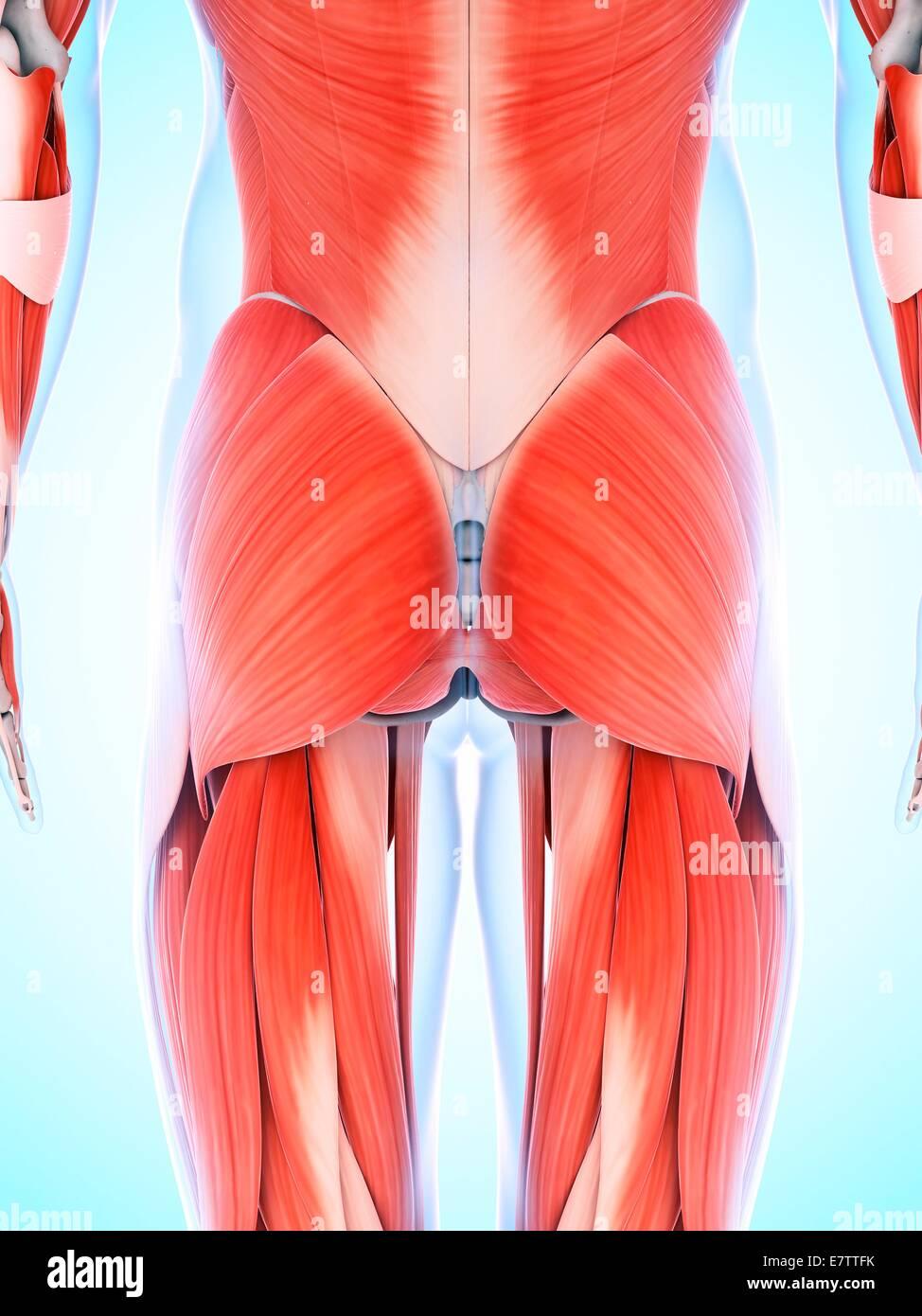 Sistema muscular humano de las nalgas, equipo de ilustraciones Foto ...