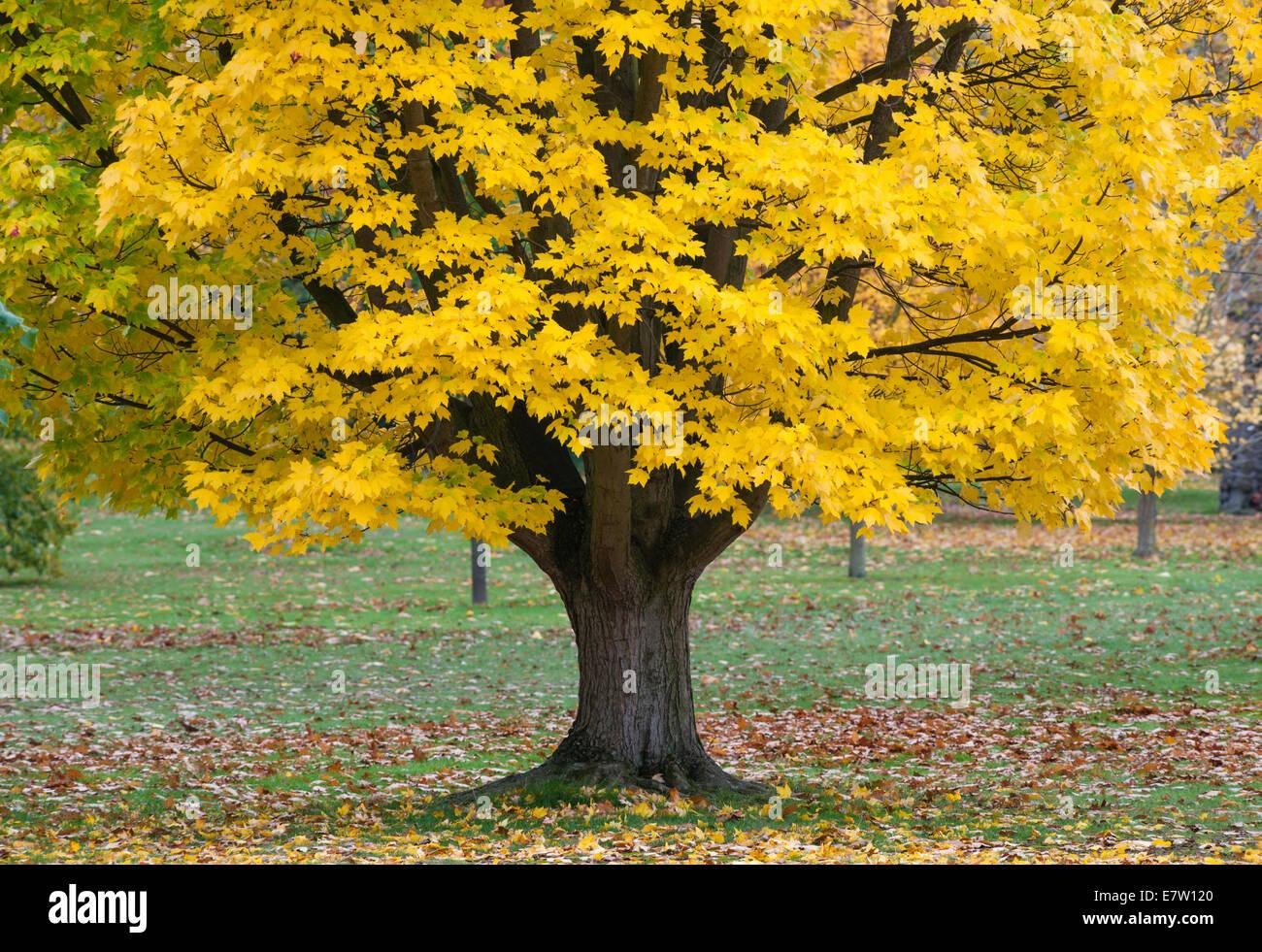 Royal Botanic Gardens, Kew, Londres. Un formulario amarillo de Acer rubrum (arce rojo o arce de pantano) tiene un aspecto espectacular en otoño Foto de stock