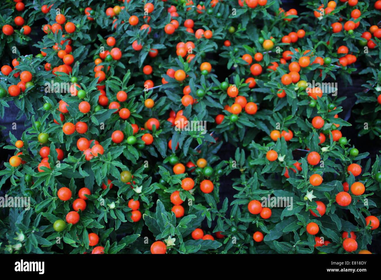 Fruta conocida como la manzana del amor [PUNIQRANDLINE-(au-dating-names.txt) 60