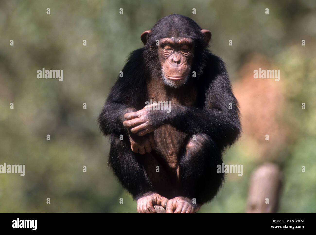 Closeup retrato de un chimpancé (Pan troglodytes) en cautividad en un zoológico Foto de stock
