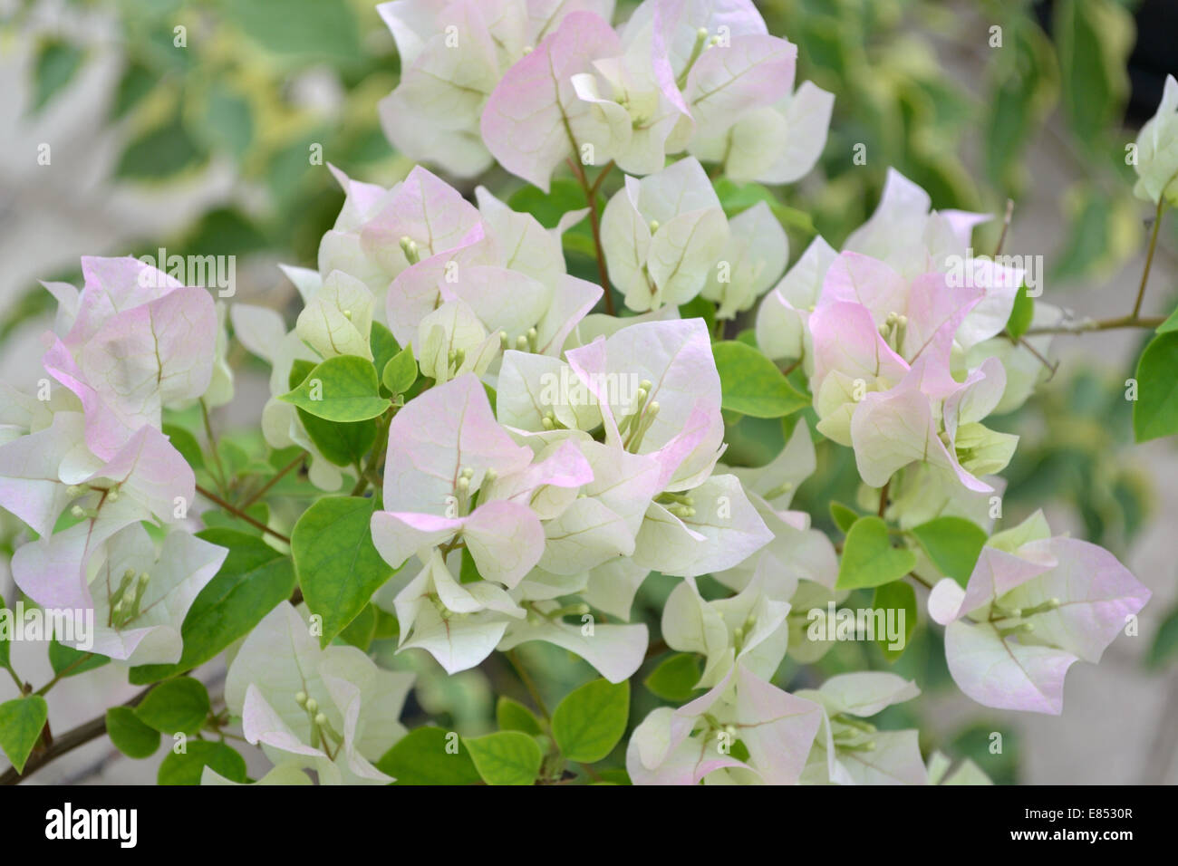 El Bougainvillea con flores rosas Foto de stock