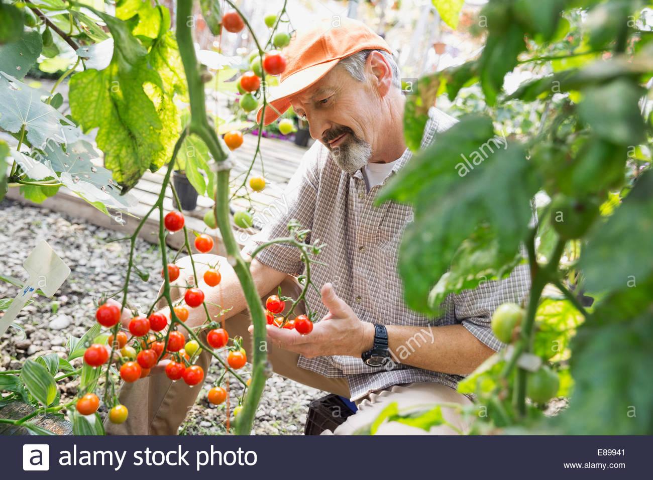 Trabajador examinando los tomates en el vivero de plantas Imagen De Stock