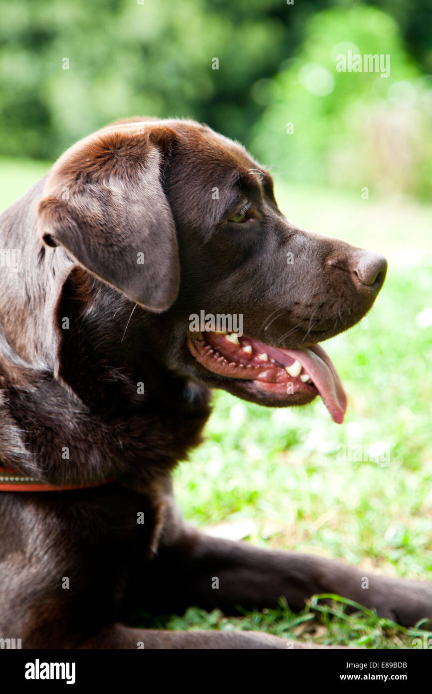 Labrador Retriever chocolate retrato de perro adulto hembra Foto de stock