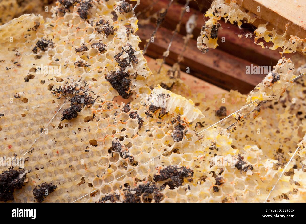 La polilla de la cera de abeja nacional daños en los marcos de la ...