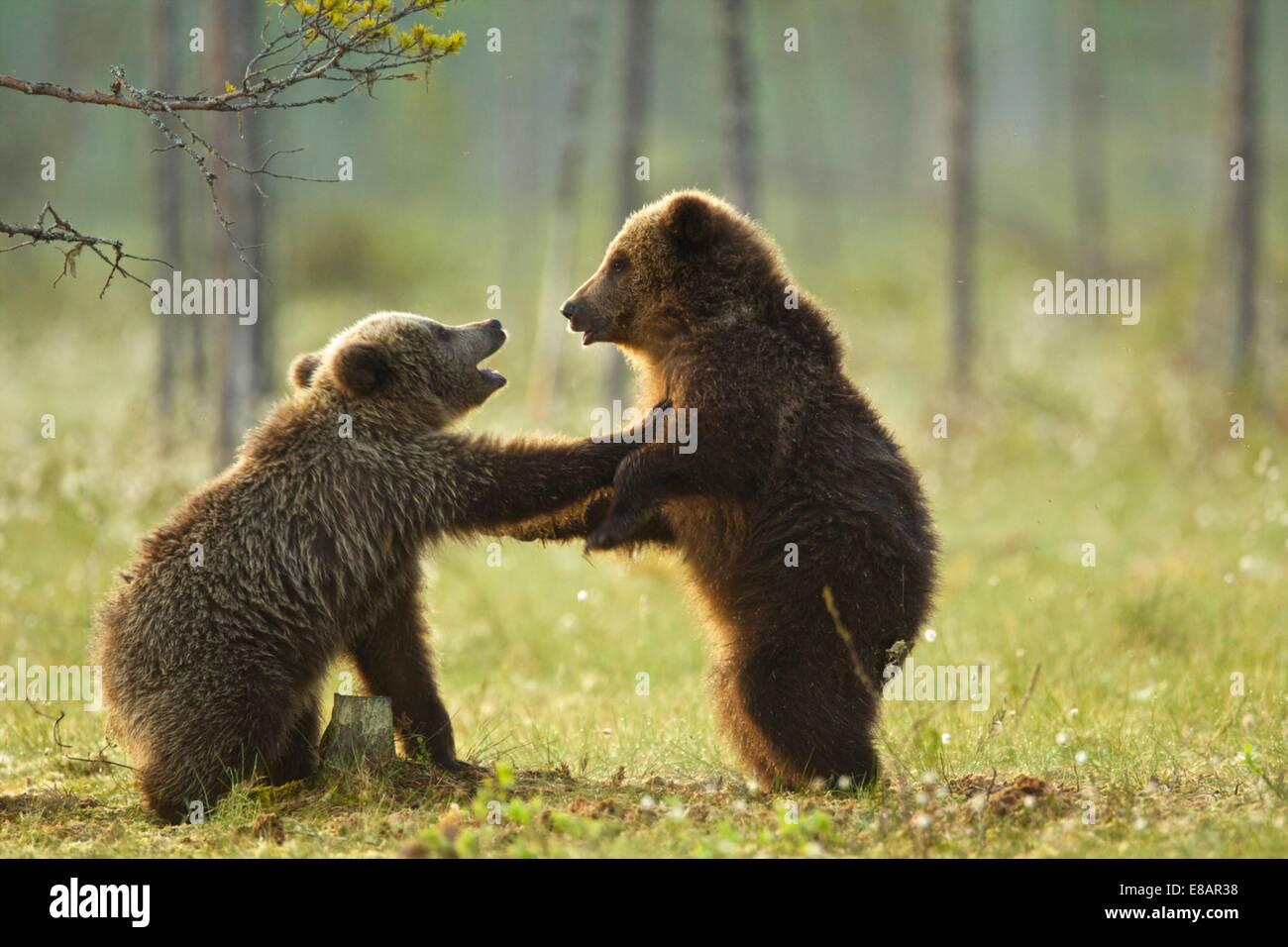 Dos crías de oso pardo (Ursus arctos combates play) en bosques de taiga, Finlandia Imagen De Stock