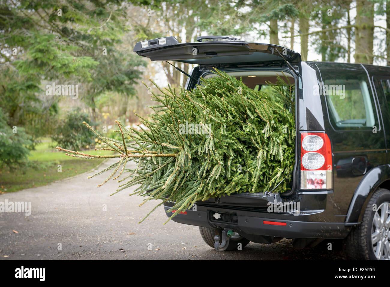 Gran árbol de Navidad en el maletero de un coche abierto Imagen De Stock
