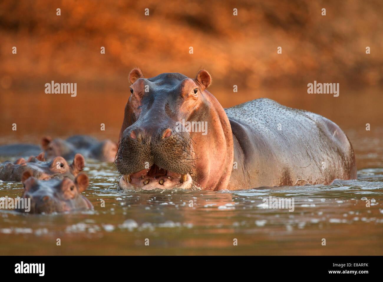 Alerta de hipopótamo (Hippopotamus amphibius), Parque Nacional de Mana Pools, Zimbabwe Imagen De Stock