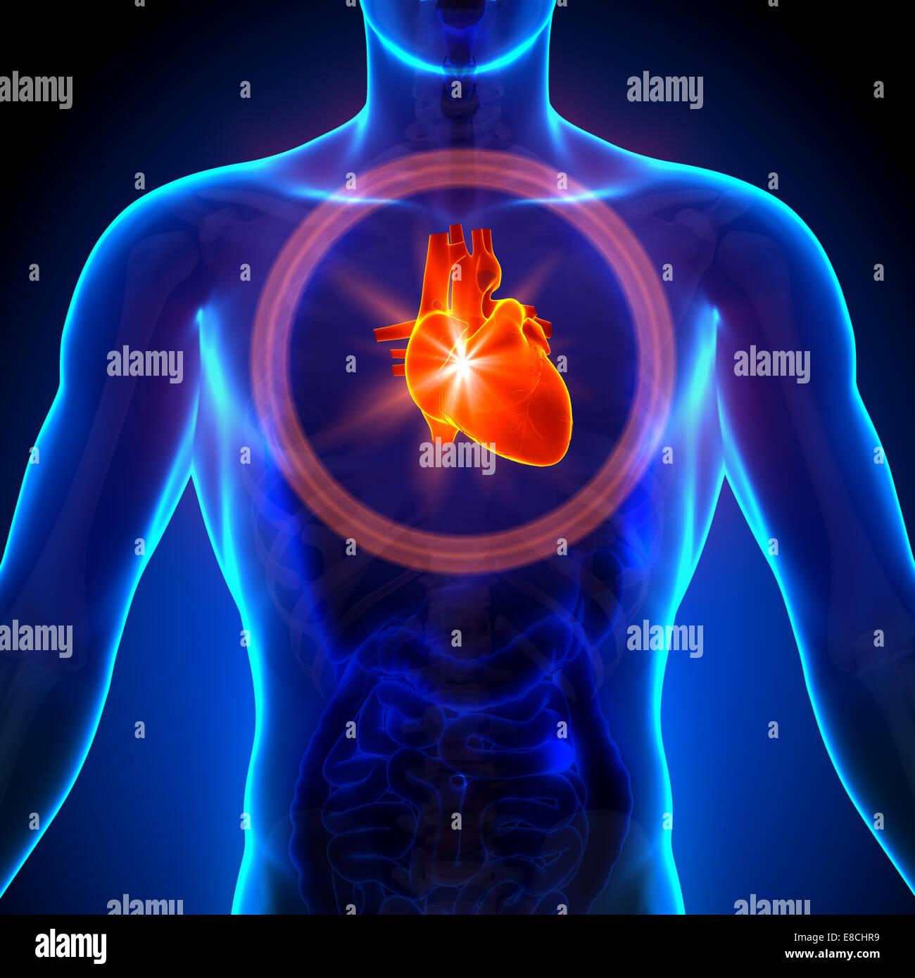 Magnífico Anatomía De órganos Humanos Colección de Imágenes ...