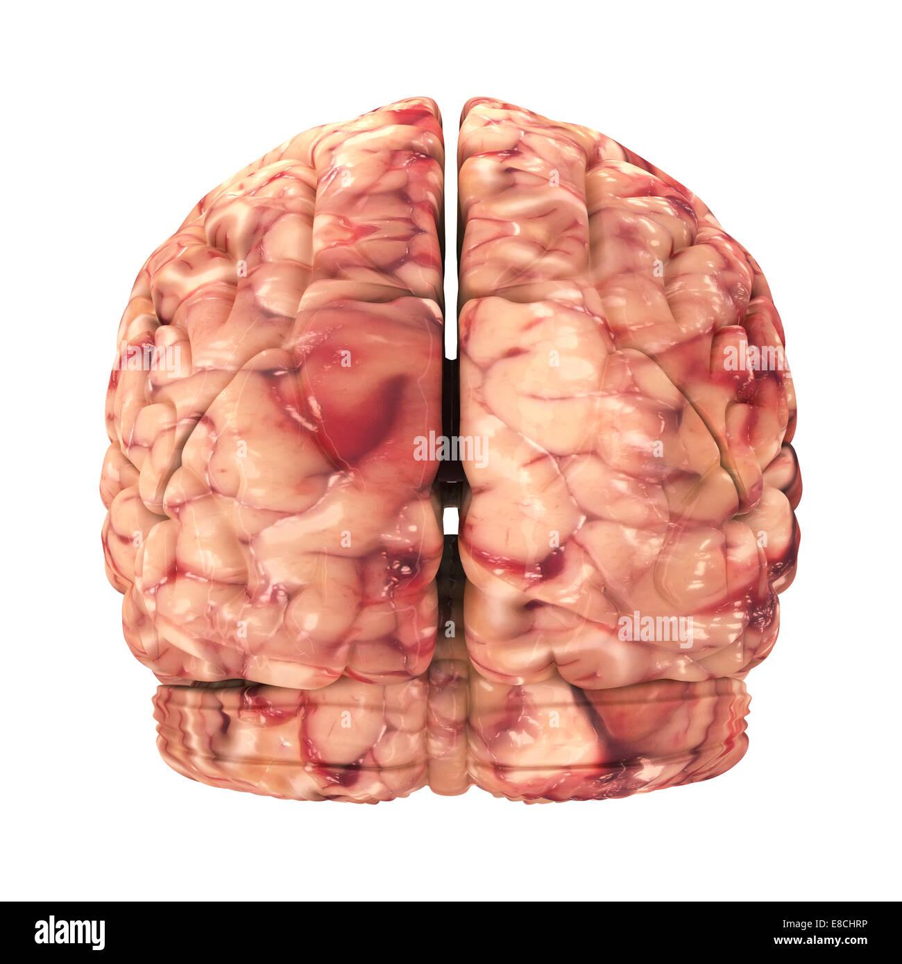 Anatomía El cerebro - Vista posterior aislado en blanco Foto de stock