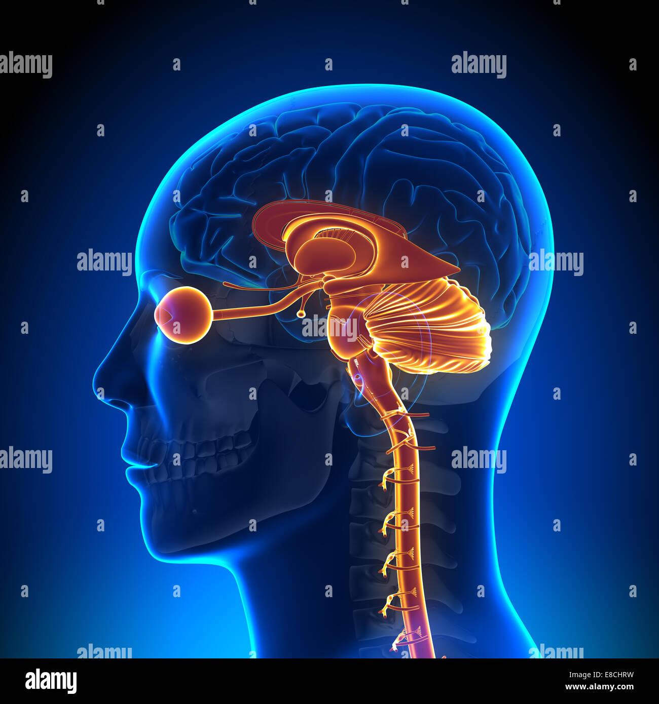 Estructura Interna De La Cabeza Anatomía Del Cerebro Foto