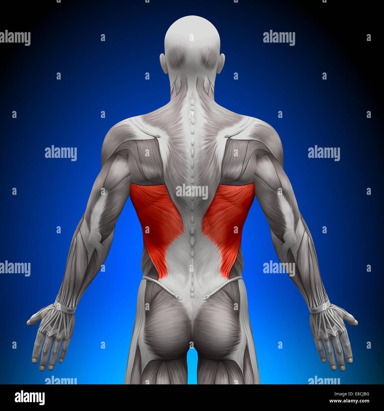 Latissimus Dorsi - Anatomía músculos Imagen De Stock