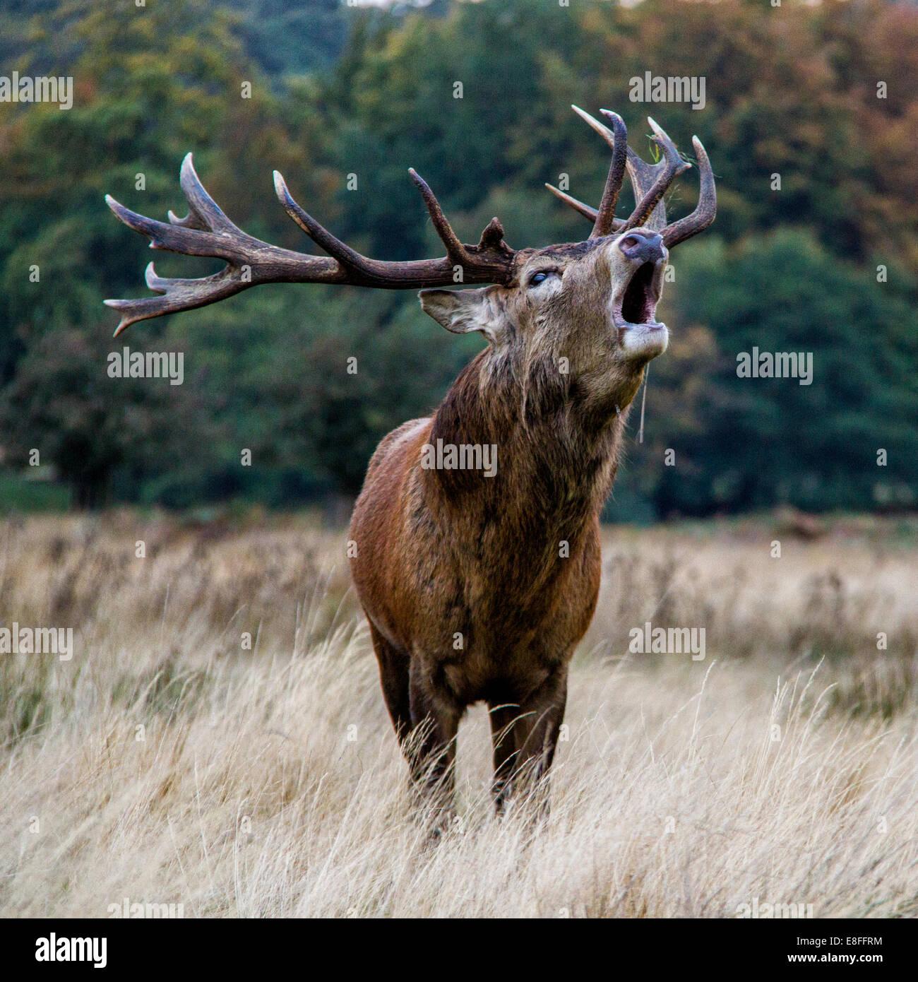 Stag bleating, gran parque de Windsor, Berkshire, Inglaterra, Reino Unido. Imagen De Stock