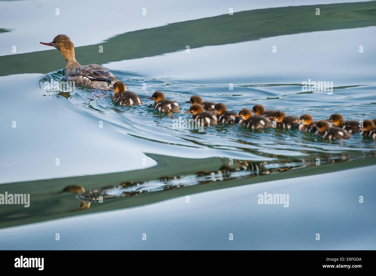 Pato con patos Imagen De Stock