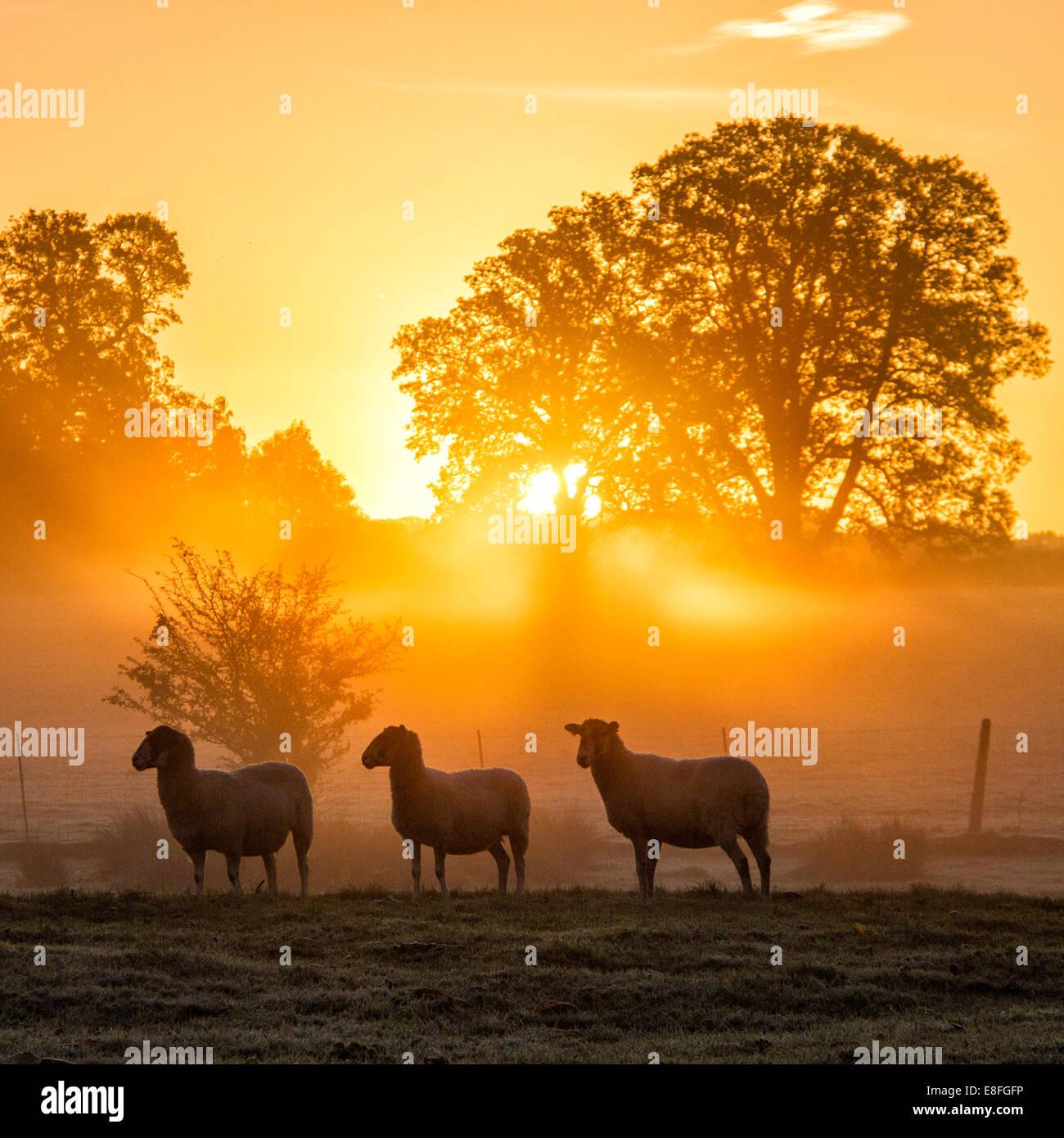 Ovejas en el campo permanente al atardecer, Berkshire, Inglaterra, Reino Unido. Imagen De Stock