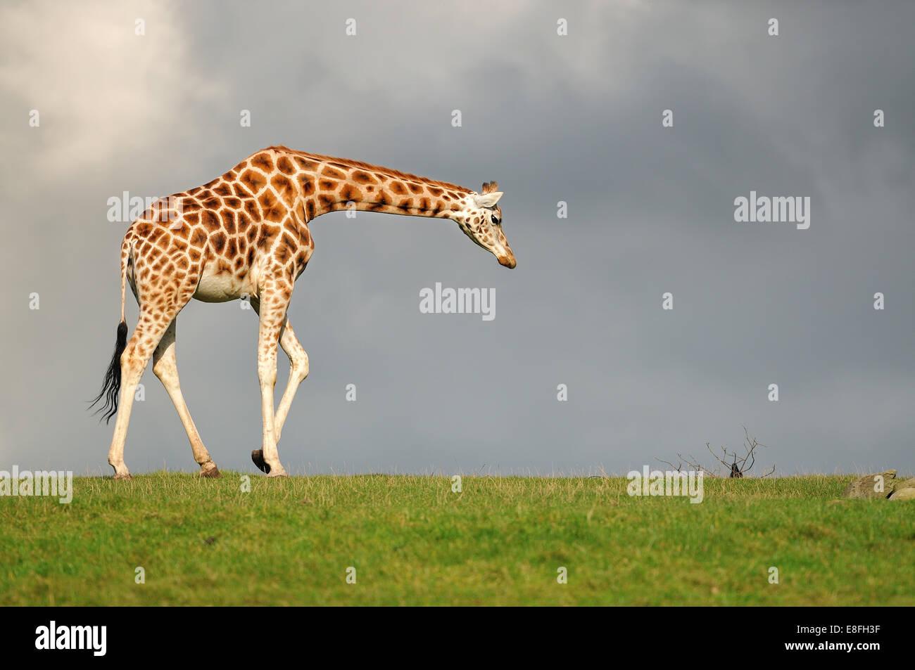 Giraffe caminar contra el cielo oscuro Imagen De Stock