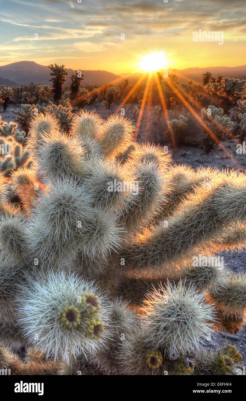 California, Estados Unidos, el Parque Nacional Joshua Tree, Cholla cactus amanecer Imagen De Stock