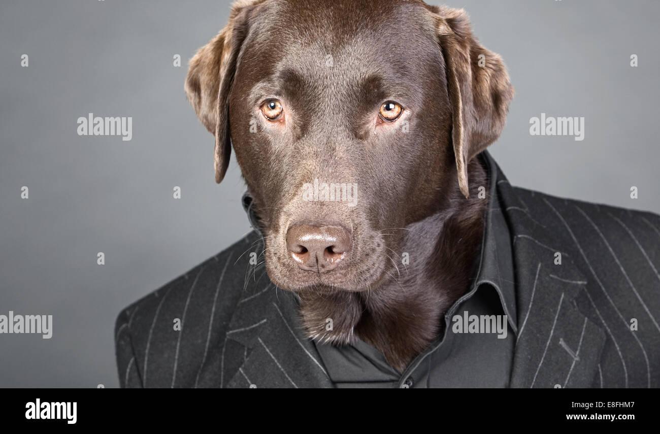 Aspecto estupendo chocolate Labrador en traje de rayas Imagen De Stock