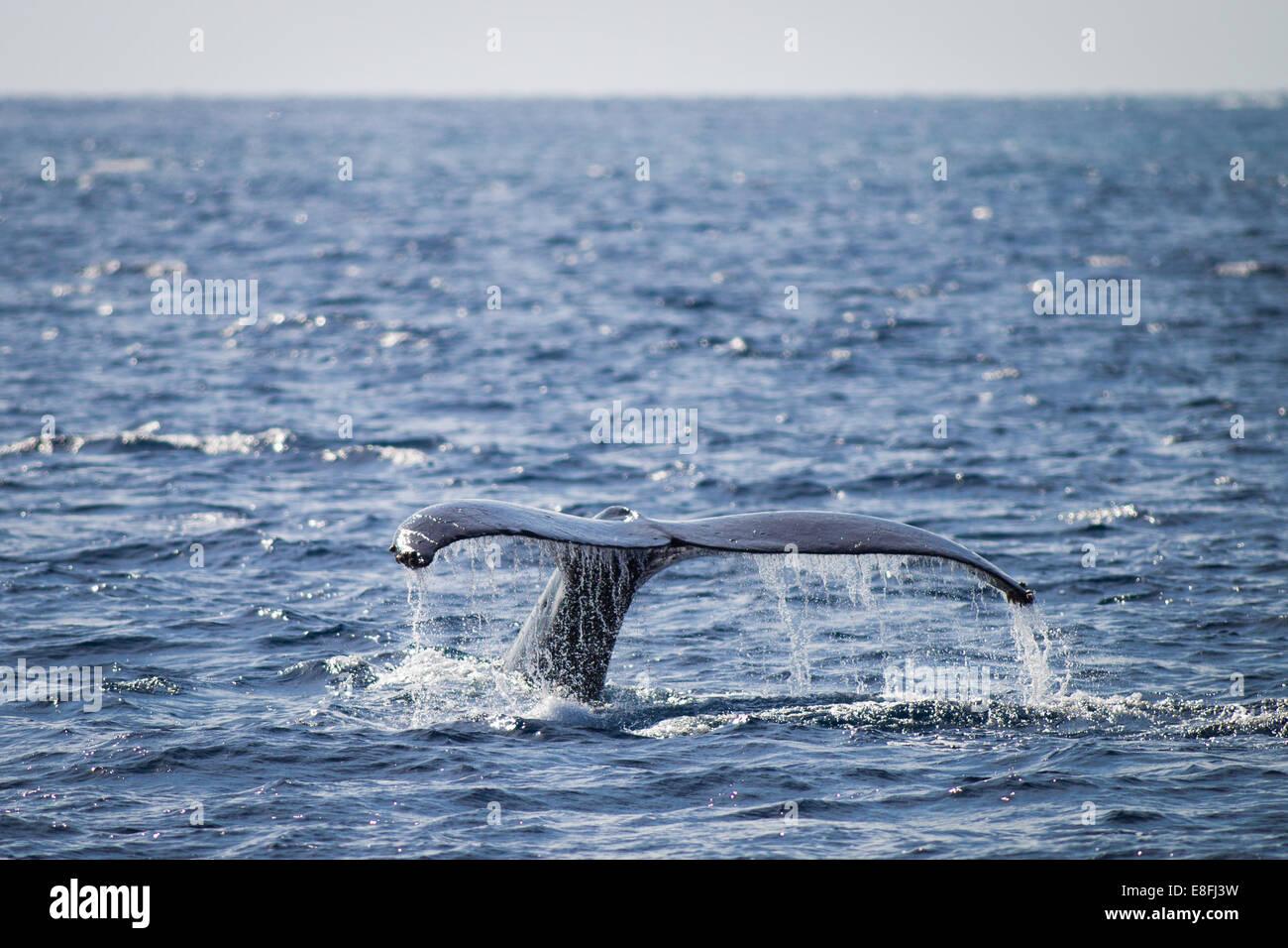 Cola de ballena salpicando, Okinawa, Japón Imagen De Stock