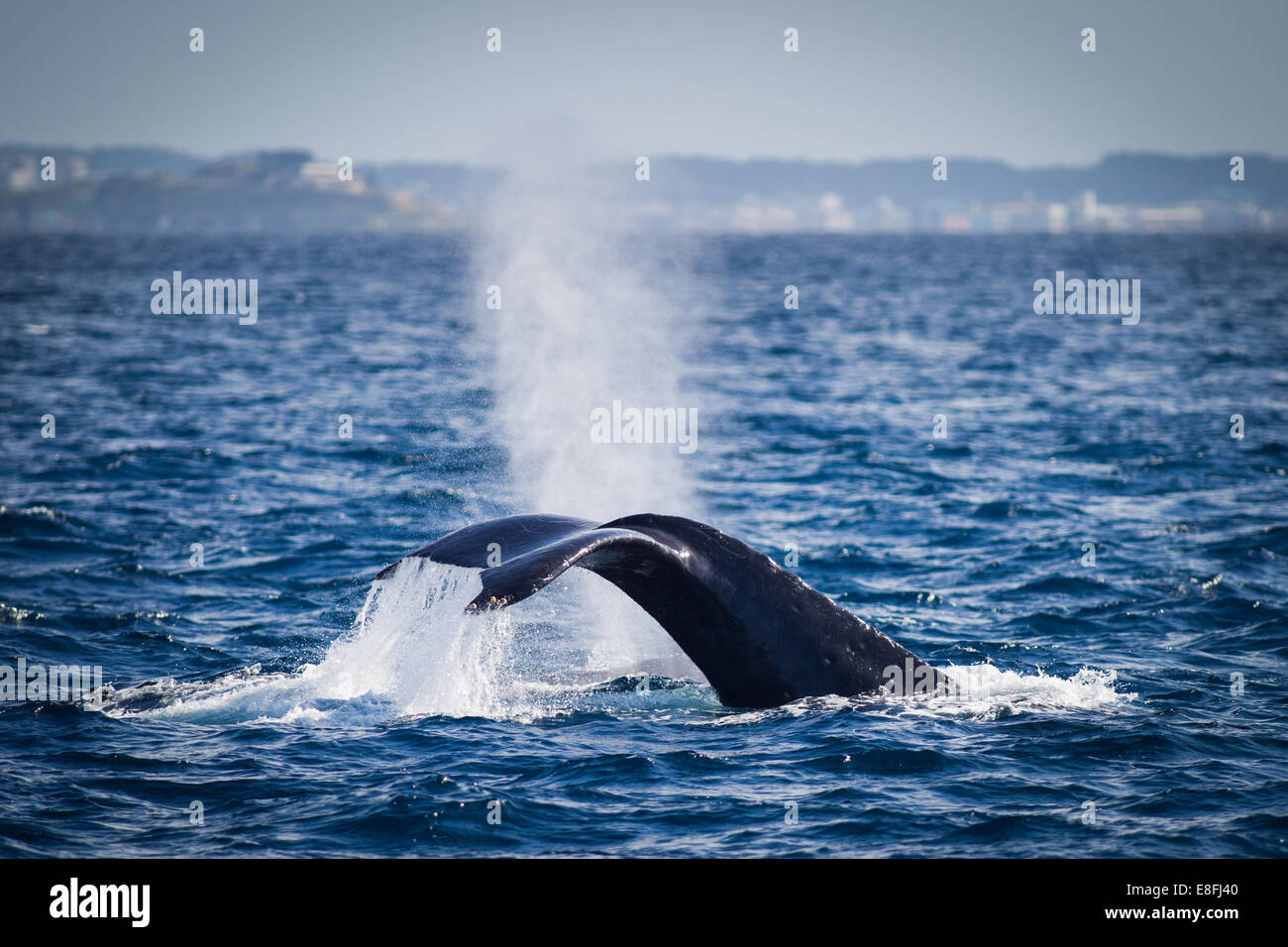 Buceo de ballenas en el océano, Okinawa, Japón Foto de stock
