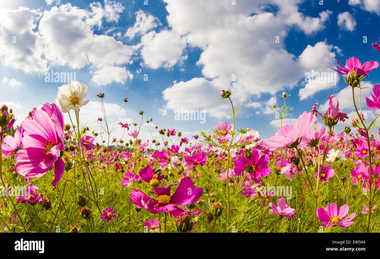 Japón, Okinawa, Cosmos campo de flores Imagen De Stock