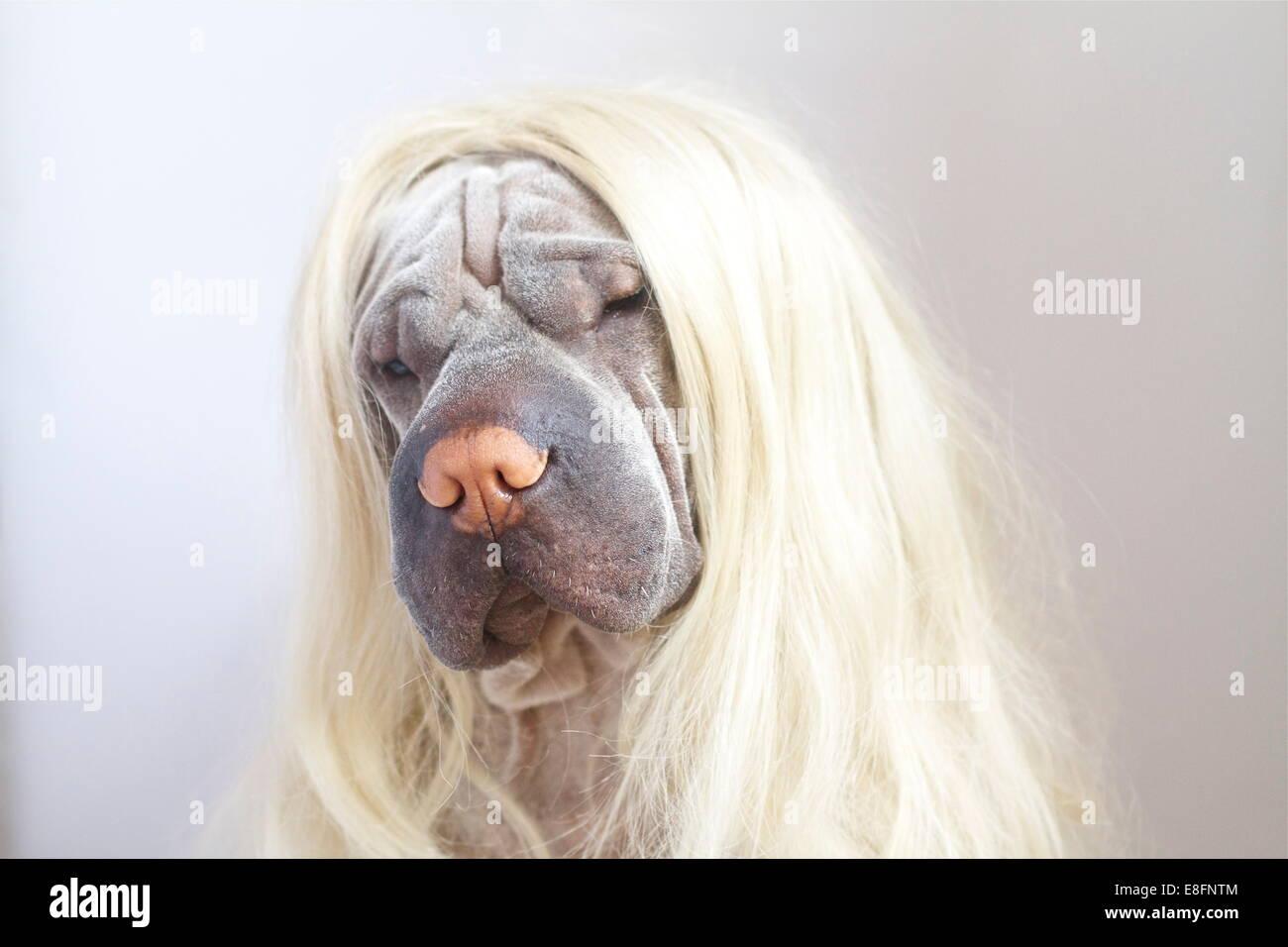 Shar pei perro con una larga peluca rubia Foto de stock