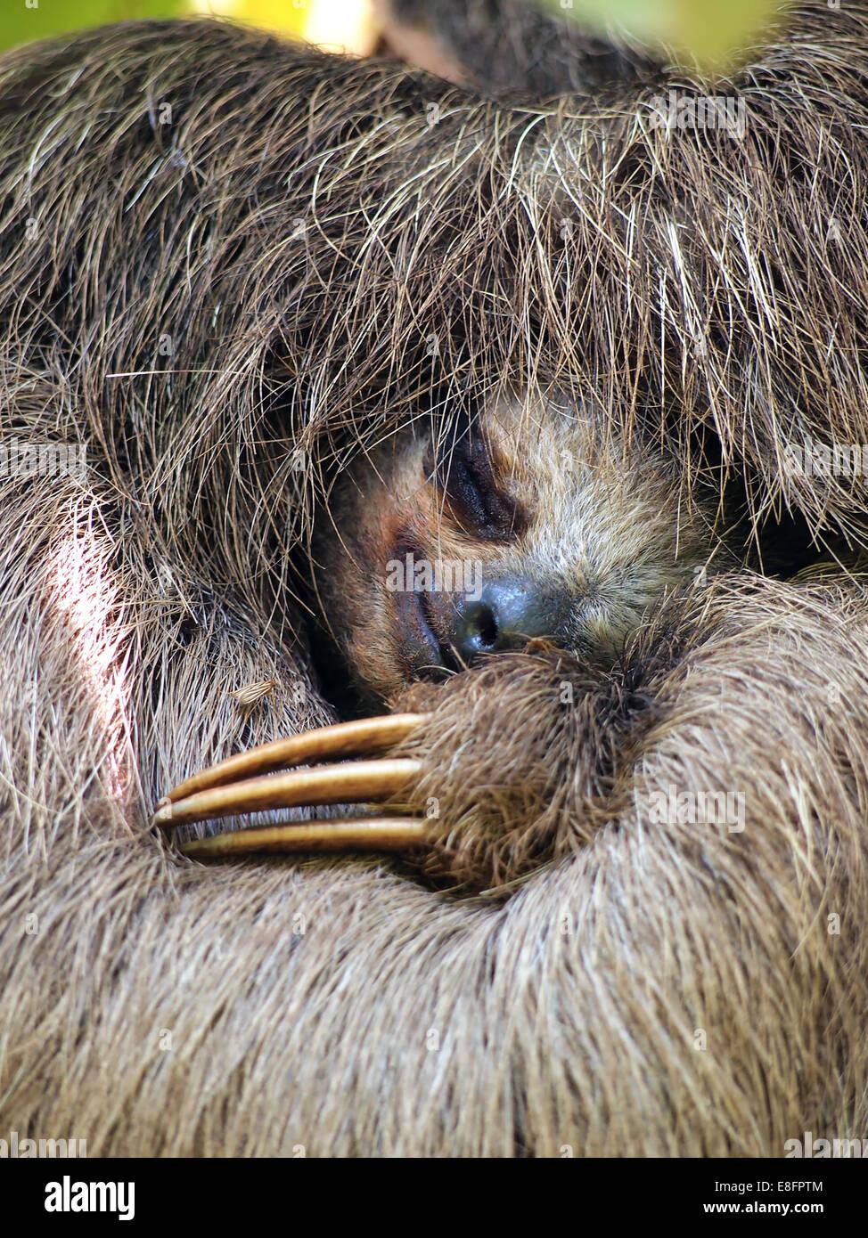 Vista de cerca de tres Brown-Throated vetado sloth durmiendo, Costa Rica Foto de stock