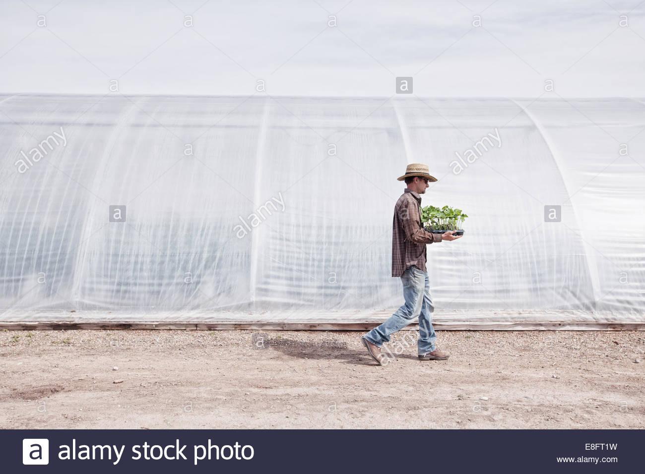 El hombre lleva la bandeja de plantas en una granja orgánica Imagen De Stock
