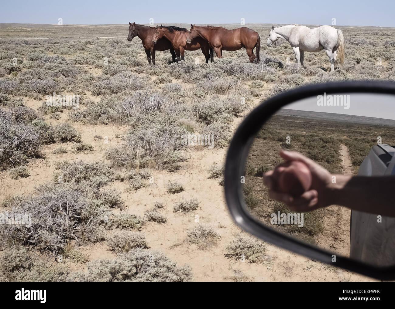 Ee.Uu., Wyoming, caballos y la reflexión de la mano con Apple en el espejo lateral Imagen De Stock