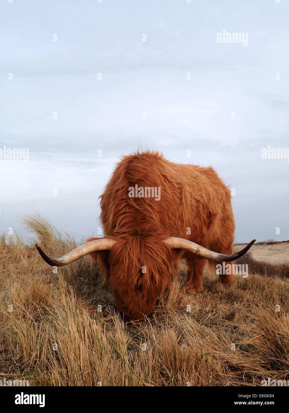 Highland vacas pastando en el campo, Scheveningen, Países Bajos Foto de stock