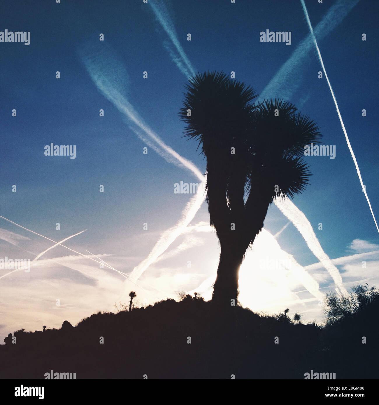 Silueta de Joshua Tree, el Parque Nacional Joshua Tree National Park, California, Estados Unidos, EE.UU. Imagen De Stock